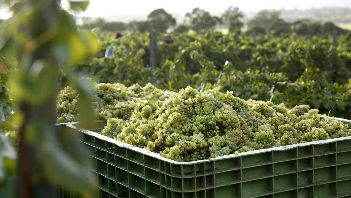 McLeish Estate Semillon Harvest 2017